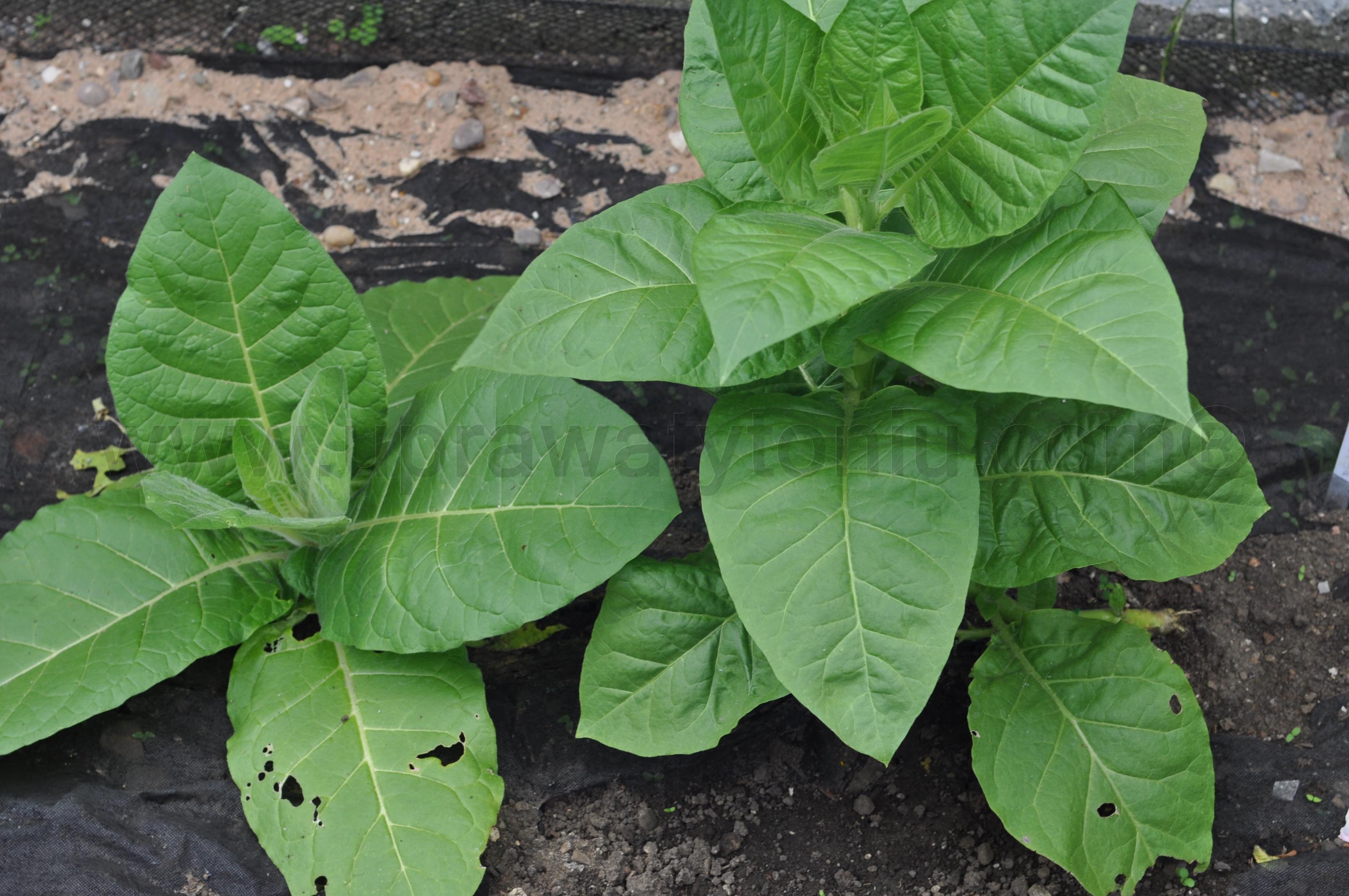 uprawa tytoniu