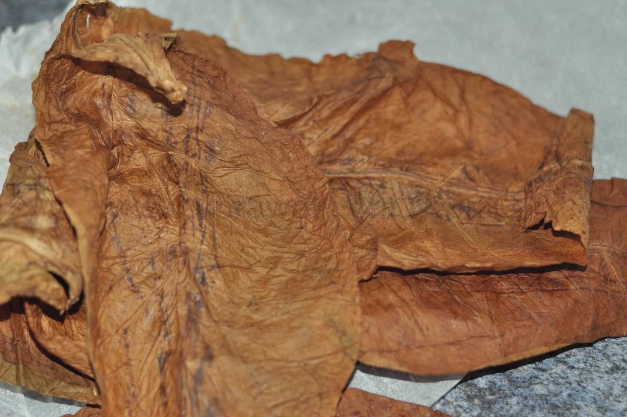 liście tytoniu. fermentacja