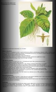 brązowa plamistość liści