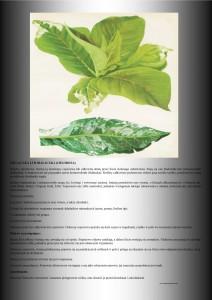 chloroza uprawa