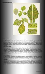 mączniak uprawa tytoniu