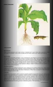 tytoń uprawa szkodniki