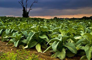 uprawa tytoniu w Polsce