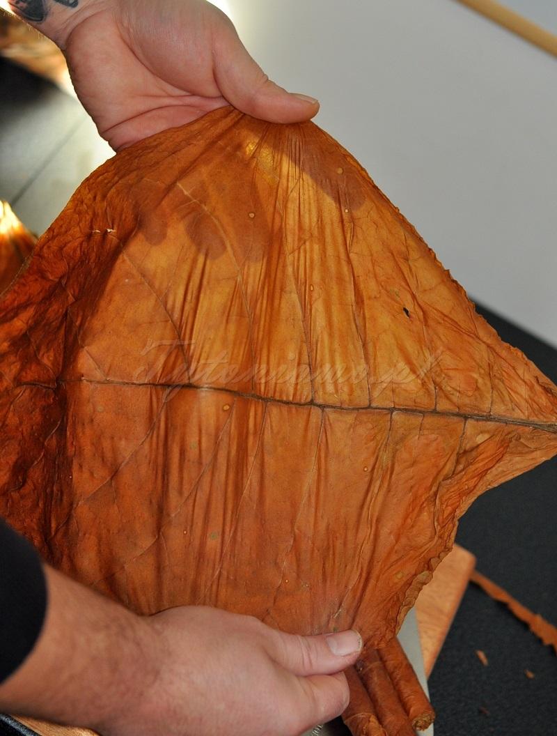 liście tytoniu havana